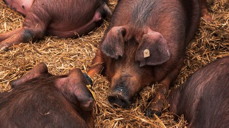 Danish duroc pigs in pen on livestock farm laying down and sleeping. This breed is well known for its excellent meat quality.