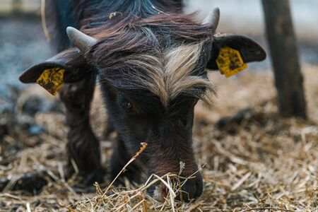 Domestic water buffalo in farm paddock, livestock animal husbandry