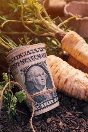 Making profit from organic parsley farming, harvested rooted parsley with roll of US dollar banknotes on garden soil ground