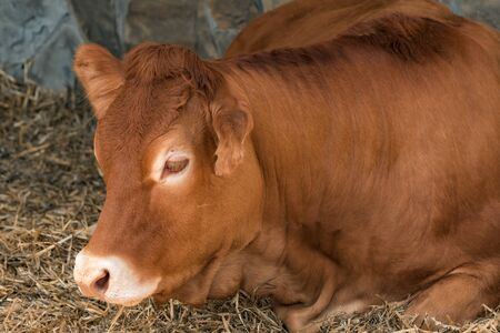 Red holstein friesian cow on livestock dairy farm, domestic animals husbandry