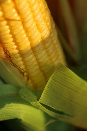 Ripening corn on the cob detail, close up of yellow kernels