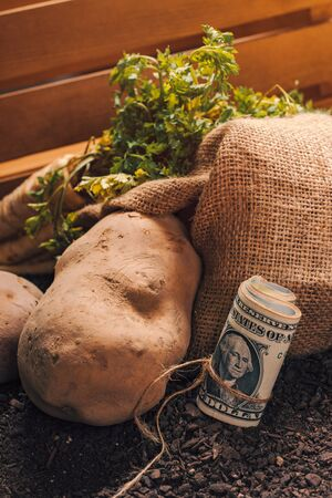 Making profit from organic farming of potato and parsley, roll of US dollar banknotes on garden soil with potato tuber and parsley root in background