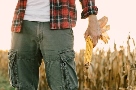 Corn farmer holding harvested ears of corn crop in field, selective focus