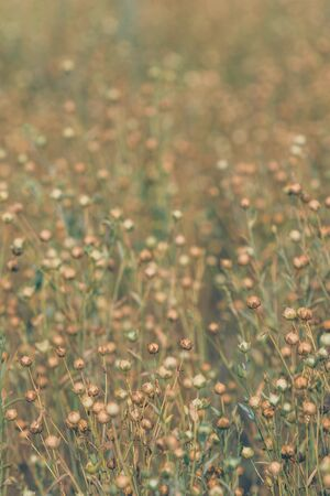 Linseed or common flax crop field, selective focus