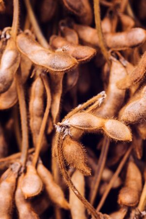 Harvested ripe soybean pods, close up with selective focus