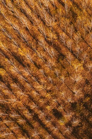 Top view of cottonwood aspen tree forest in autumn, aerial view from drone pov
