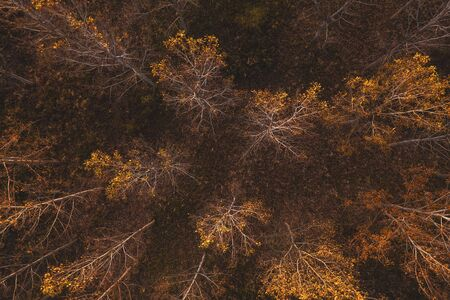 High angle view of cottonwood trees in autumnal forest from drone pov Zdjęcie Seryjne