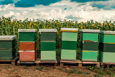 Honeybees and beehives in sunflower field, flower pollination during blooming season