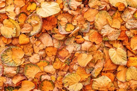 Dry yellow linden leaves covering ground, natural autumn season background