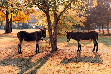 Pair of donkeys tied to a tree in park, autumn scenery Zdjęcie Seryjne
