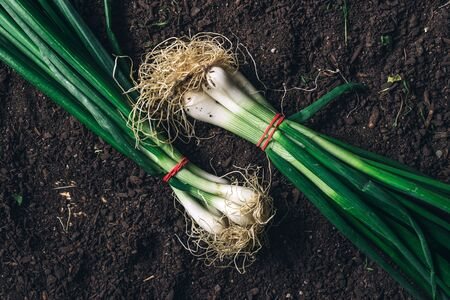 Spring onion or scallion on garden ground, top view of harvested organic homegrown root vegetable
