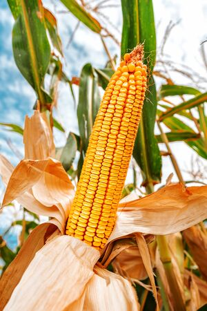 Corn on the cob in field, cultivated maize crops ripe and ready for harvest