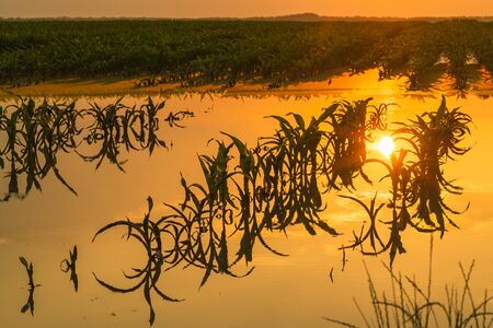 Flooded young corn field plantation with damaged crops in sunset after severe rainy season that will impact the yield of cultivated plant Zdjęcie Seryjne