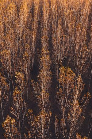 Aerial view of aspen tree forest in autumn sunset, beautiful orange leaves wooded area landscape Zdjęcie Seryjne