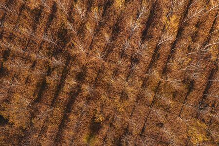 Aerial top view of cottonwood forest in autumn from drone pov Zdjęcie Seryjne