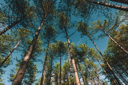 Pine tree forest at Zlatibor region in Serbia, low angle view wide shot of tall woods 版權商用圖片 - 134791749