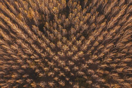 Autumn aspen tree forest from drone pov, beautiful abstract background of wooded area aerial view