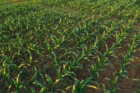 Cultivated sorghum field in sunset, green plant growing on plantation