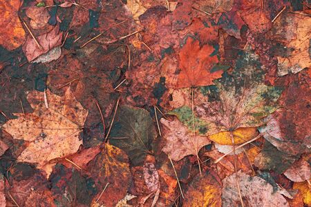 Texture of dry maple leaves on wet ground in autumn, top view colorful background Banco de Imagens