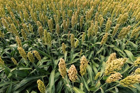 Sorghum bicolor crop field. This plant is grown for food, animal fodder, production of alcoholic beverages and biofuel