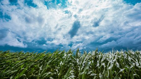 Dark stormy clouds over cultivated green cornfield landscape Stockfoto