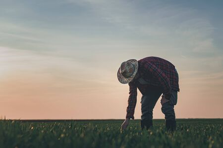 Agronomist in wheat crop field analyzing wheatgrass, farm worker working in springtime sunset, selective focus