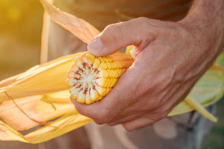 Agronomist holding corn on the cob in the field during the maize crop harvest Banque d'images