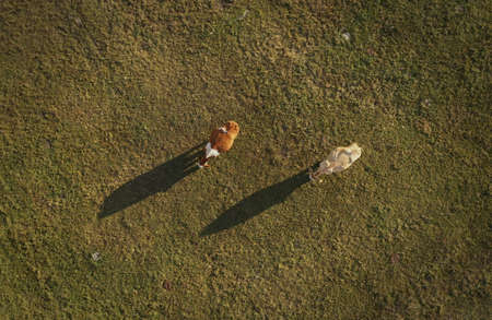 Top view of two cows grazing on pasture field, aerial view from drone with shadows on grassy meadow surface
