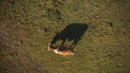 Top view aerial of cow grazing on pasture land, drone pov