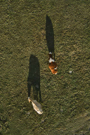 Two cows grazing on pastureland meadow and casting shadow on the grass field, aerial view directly above