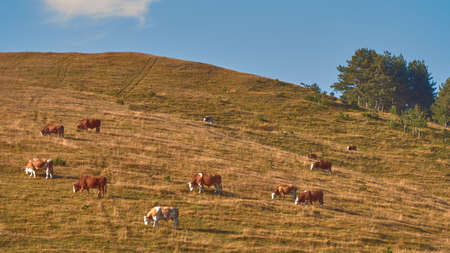 Herd of cows is grazing on pastureland hill slope, beautiful scenery of Zlatibor region in south-west Serbia.