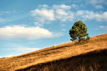 Lonely golden pine tree on hill slope in Zlatibor region, south west Serbia. Beautiful autumn scenery with copy space. Banque d'images