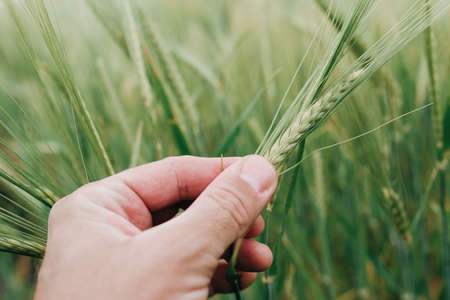 Agronomist examining ear of barley crop in field, close up of hand holding Hordeum vulgare plant, selective focus Banque d'images
