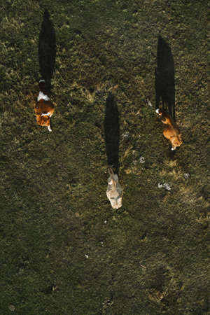 Three cows grazing on pastureland meadow and casting shadow on the grass field, aerial view directly above