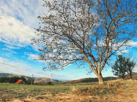 Old walnut tree in field in early autumn morning. Zlatibor region in Serbia.