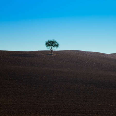 non urban scene: A lonely oak tree on a plowed field near Siena, Tuscany, Italy  Stock Photo