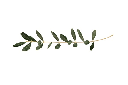 extracting: Olive tree twig with leaves isolated on white background. A single branch of peace symbol