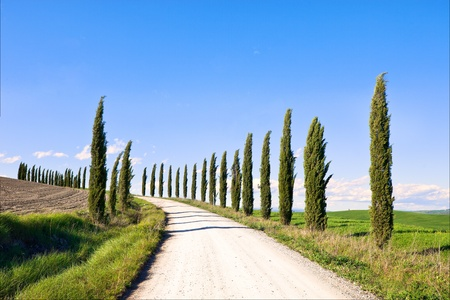 cypress tree: Cypress Trees rows and a white road typical landscape in Crete Senesi land near Siena, Tuscany, Italy, Europe.