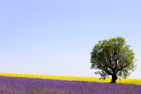 Lavender and yellow flowers blooming field and a lonely tree  Valensole, Provence, France, Europe