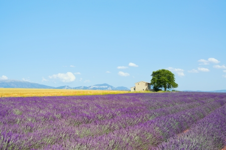 Lavender flowers blooming field, wheat, a house and a lonely tree  Plateau de Valensole, Provence, France, Europe