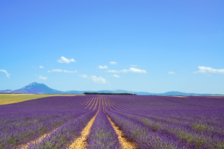 Lavender flower blooming scented fields in endless rows and trees on background  Landscape in Valensole plateau, Provence, France, Europe  photo