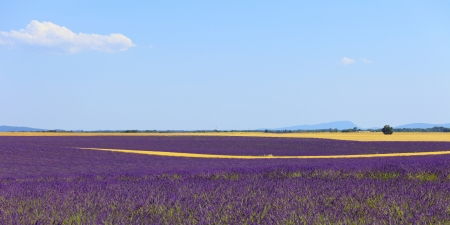 Lavender flowers blooming field, wheat lines and trees  Panoramic photography in plateau de Valensole, Provence, France, Europe  photo