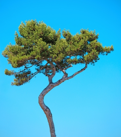 bandy: Maritime Pine curved tree, Pinus Pinaster mediterranean plant, isolated on blue sky background  Juan les Pins, Provence, France  Stock Photo