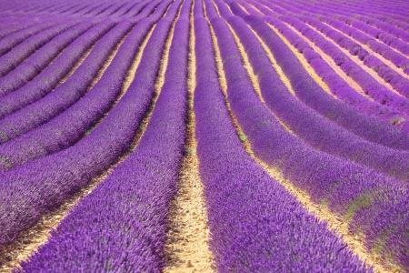 Lavendel blomma blommande fält i ändlösa rader som ett mönster eller struktur Landskap i Valensole platå, Provence, Frankrike, Europa Stockfoto