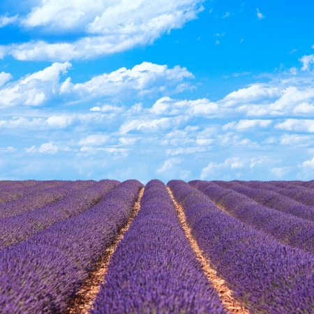 plateau of flowers: Lavender flower blooming scented fields in endless rows and a blue cloud sky  Landscape in Valensole plateau, Provence, France, Europe  Stock Photo