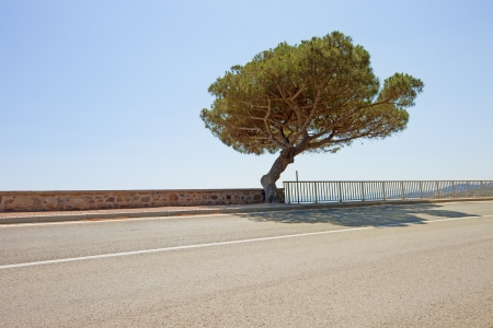 aslant: Maritime Pine curved tree on scenic coastal road to Saint Tropez in French Riviera  Var, Provence Cote Azur, France