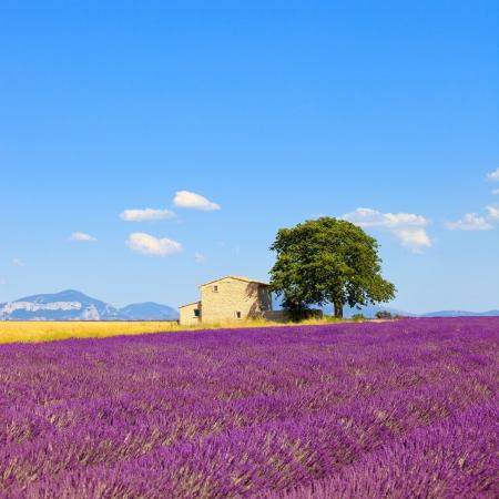 lavanda: Flores de lavanda en flor de campo, trigo, casa y solitario �rbol Plateau de Valensole, Provence, France, Europe Foto de archivo