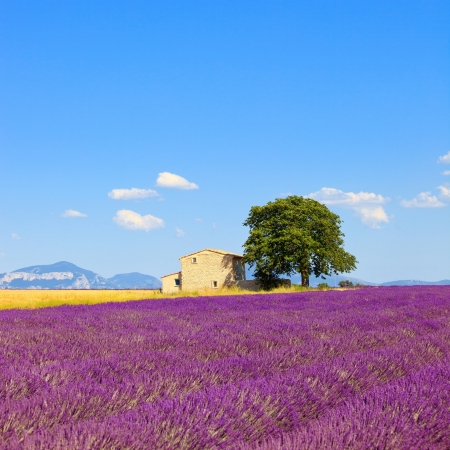 Lavender flowers blooming field, wheat, house and lonely tree  Plateau de Valensole, Provence, France, Europe  photo