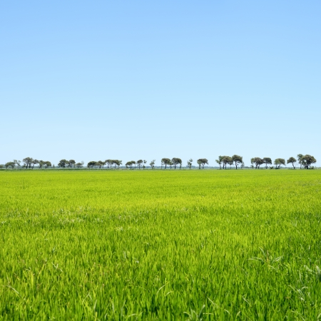 Trees in a row and green field  Camargue Rhone park, Provence, France photo