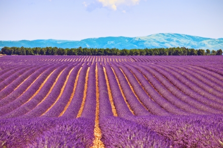 provence: Lavender flower blooming fields in endless rows and trees on background  Landscape in Valensole plateau, Provence, France, Europe